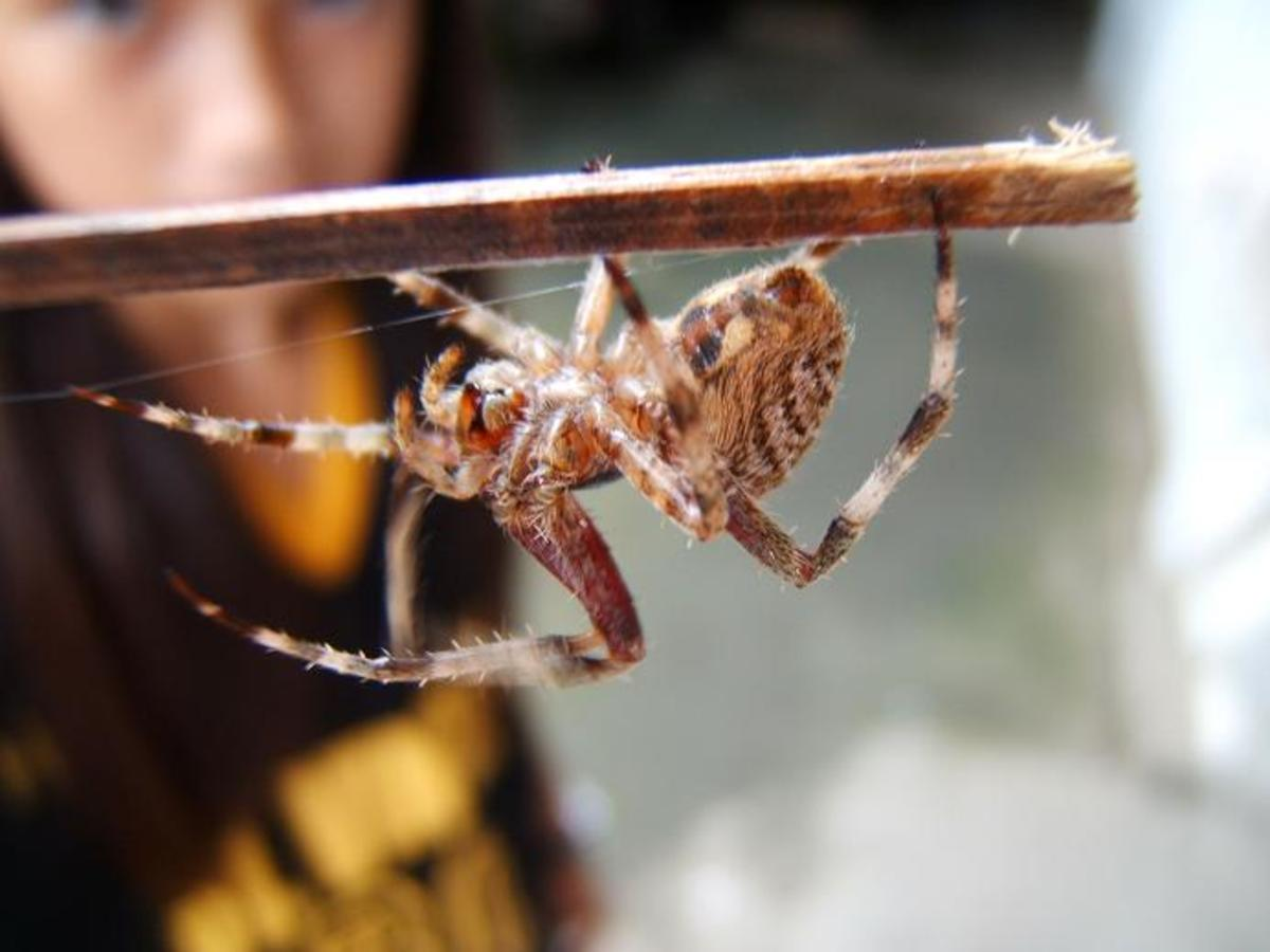 Spider Fighting And Gambling In The Philippines Hubpages