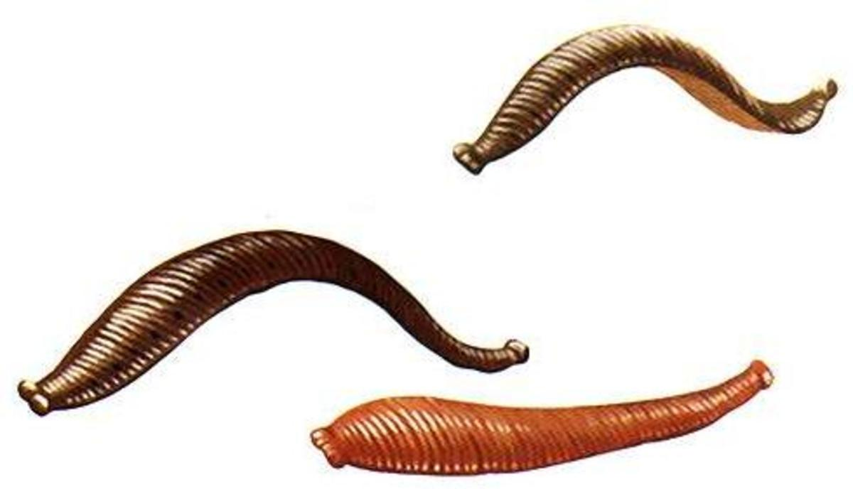 Leeches are NOT earthworms.