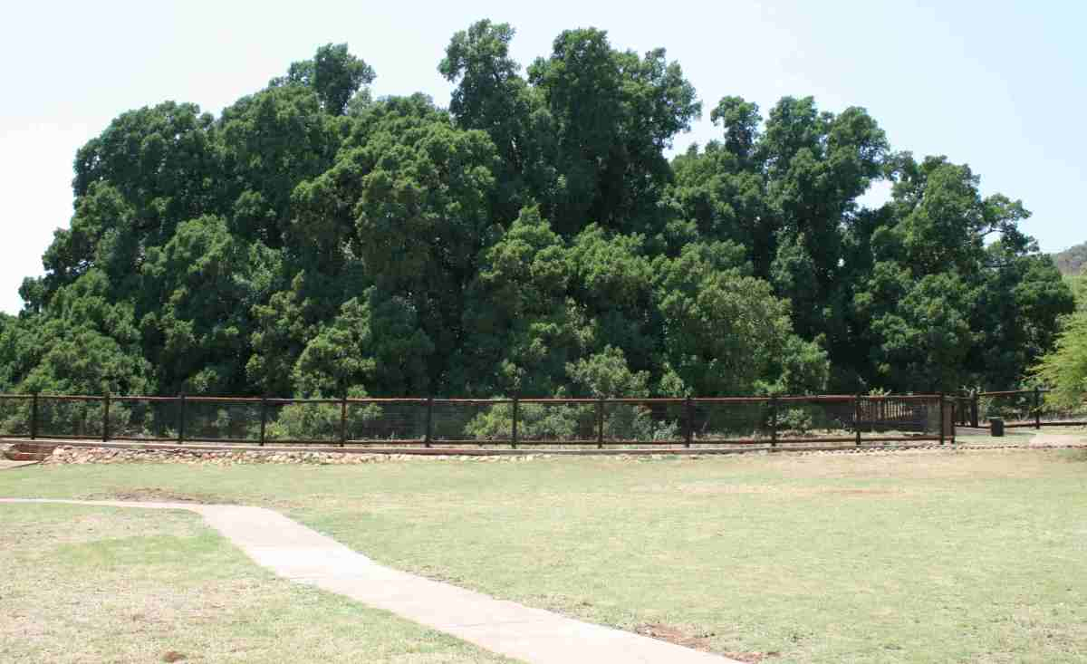 Wonderboom - Pretoria's 1000-year-old wonder tree
