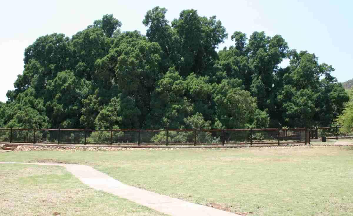 Wonderboom - Pretoria's 1000-year-old wonder tree