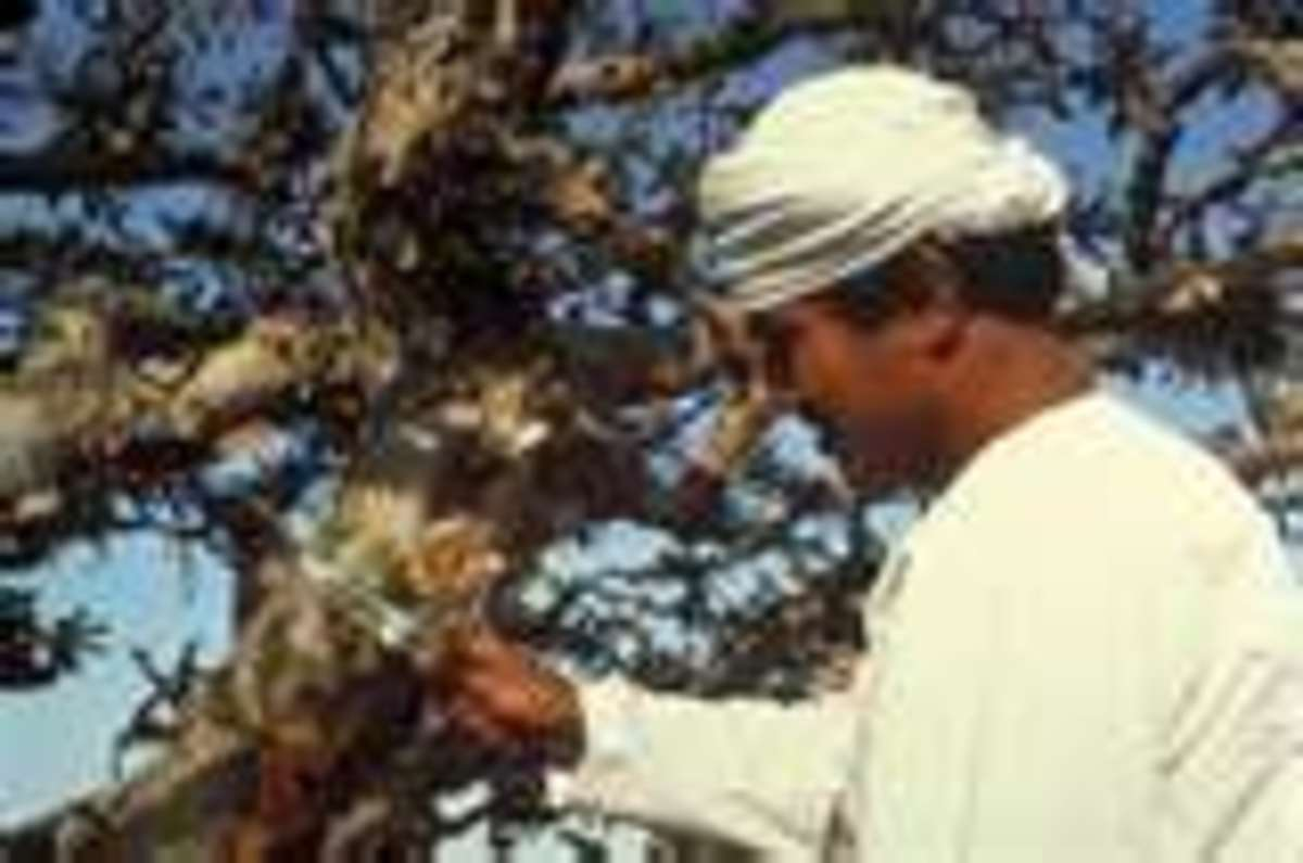 Harvesting the frankincense