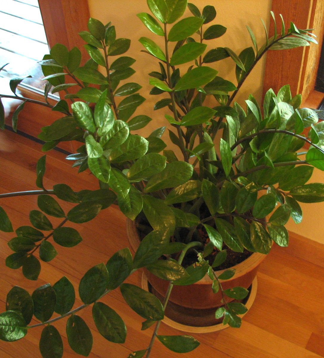 ZZ Plant, Easy to Grow House Plant