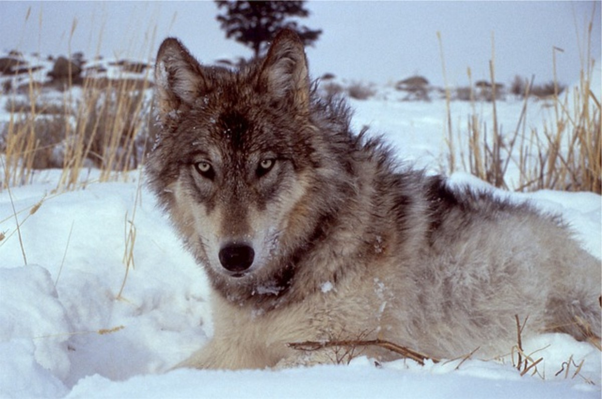 Photo on a grey wolf one of our endangered species.