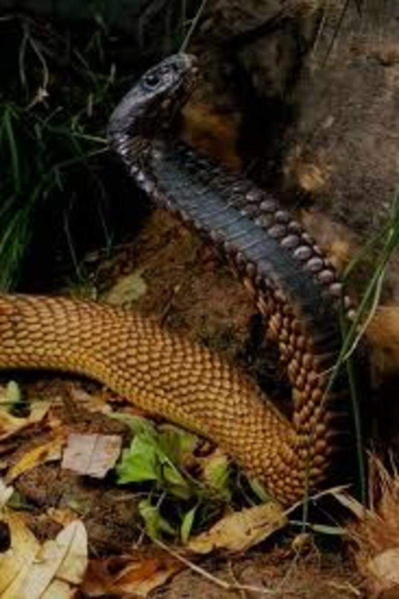 Arabian Cobra