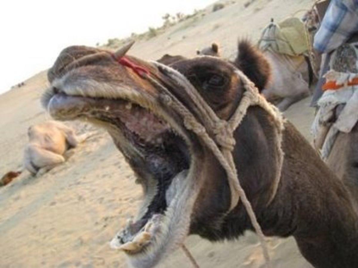 Camel Bites, broen or lost fingers