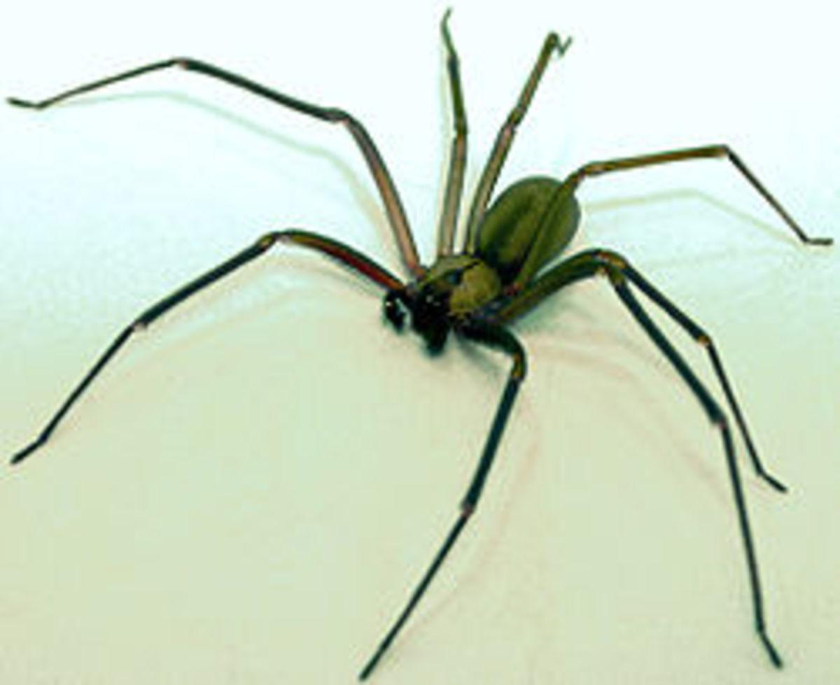 Venomous Brown Recluse Spider