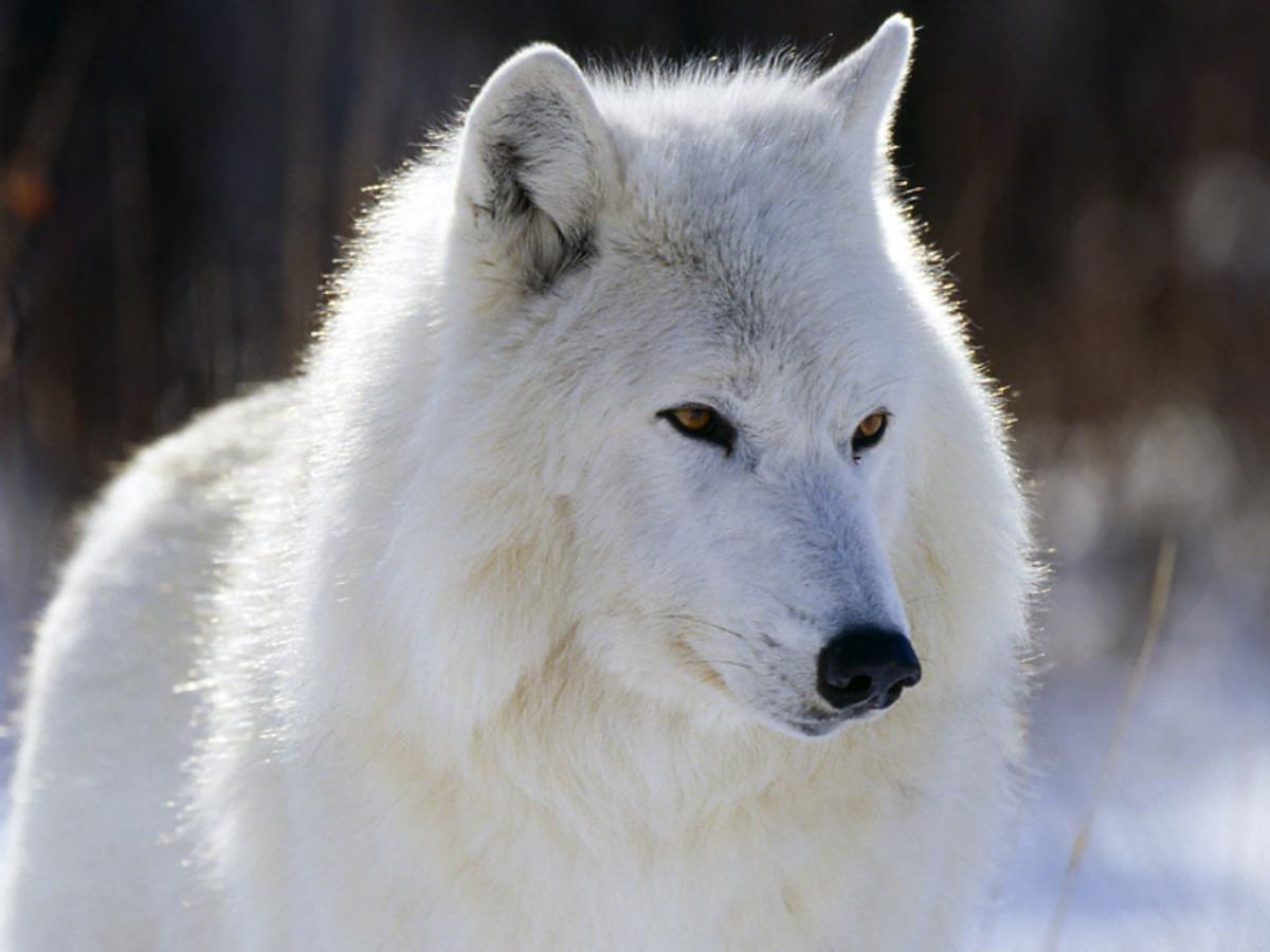 Gorgeous Arctic Wolf