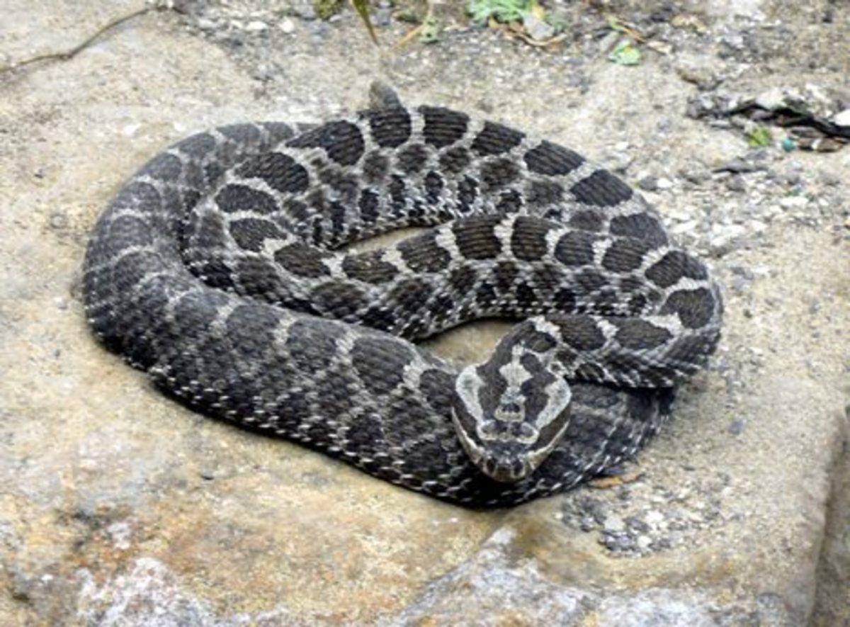 Black Rattler