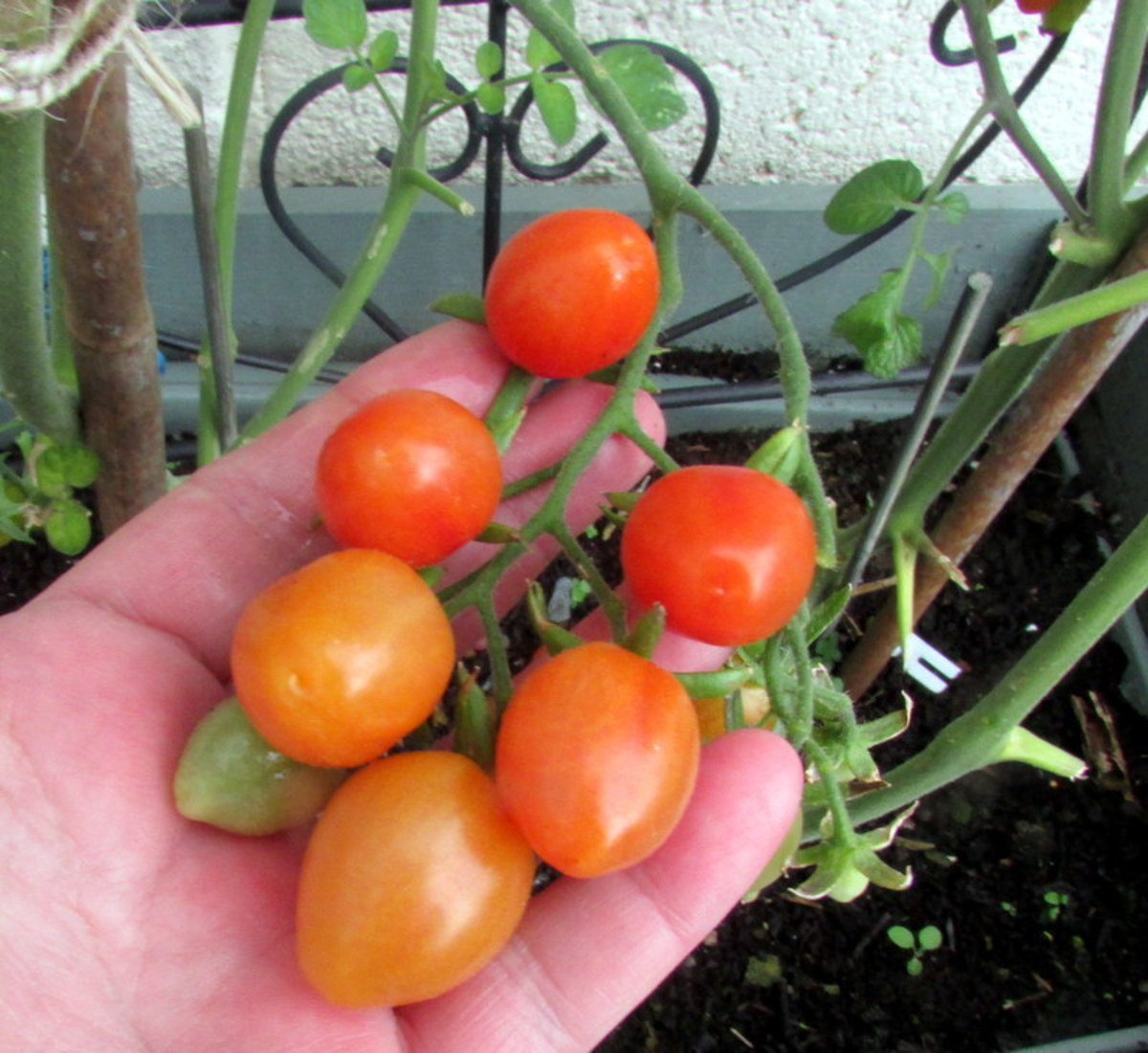 How to grow baby plum tomatoes