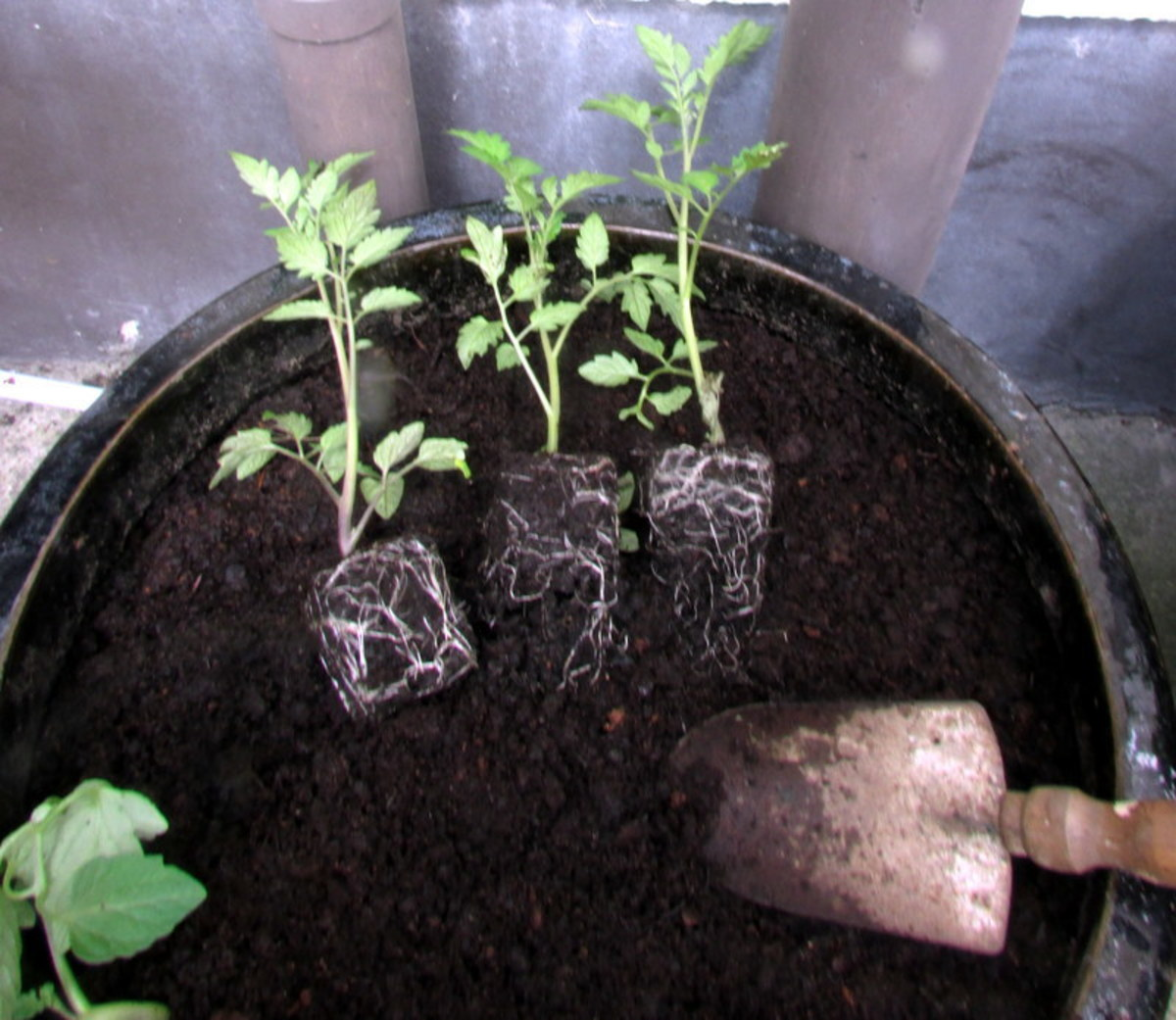 Tomato plants ready to transplant in a container.