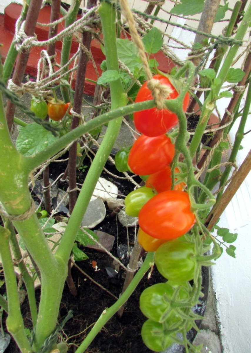Tie the bunch of tomatoes growing on the plant to a stronger stem.  This will help it stay there.