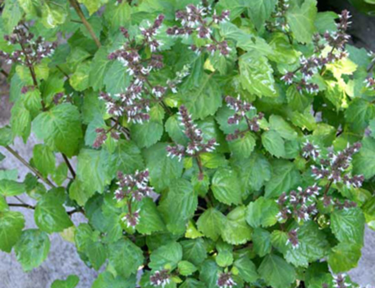 Patchouly  plant
