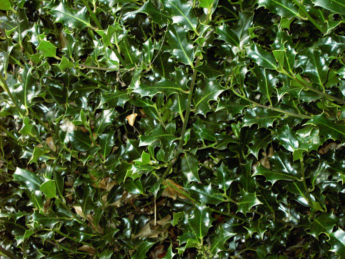 SPINY FOLIAGE OF HOLLY