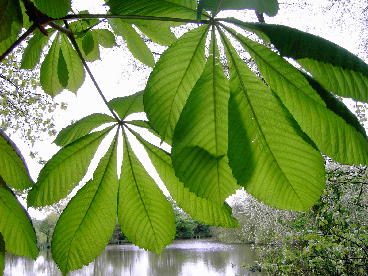 HORSE CHESTNUT LEAVES HAVE PALMATELY COMPOUND LEAVES