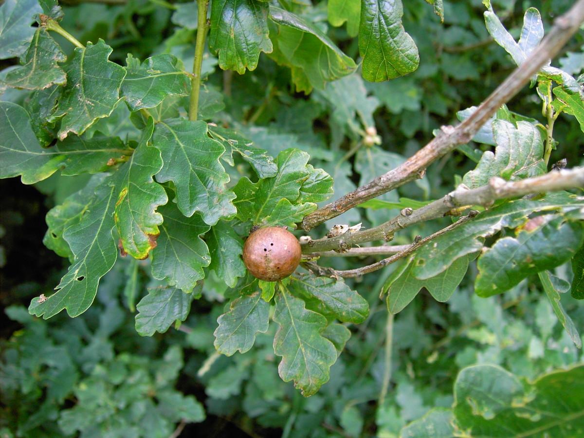 The lobate foliage of the oak