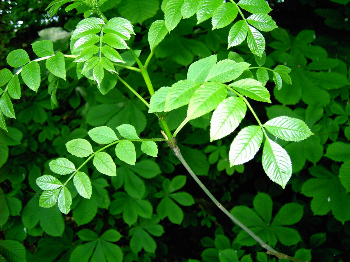 The foliage of ash are classed as being Odd pinnate because they have a terminal single leaflet.