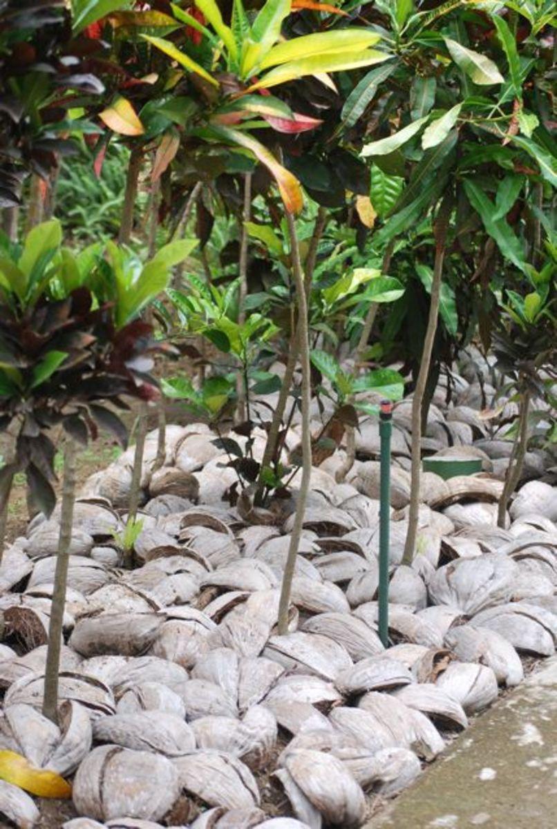 Coconut shells used as mulch at Sonaisali