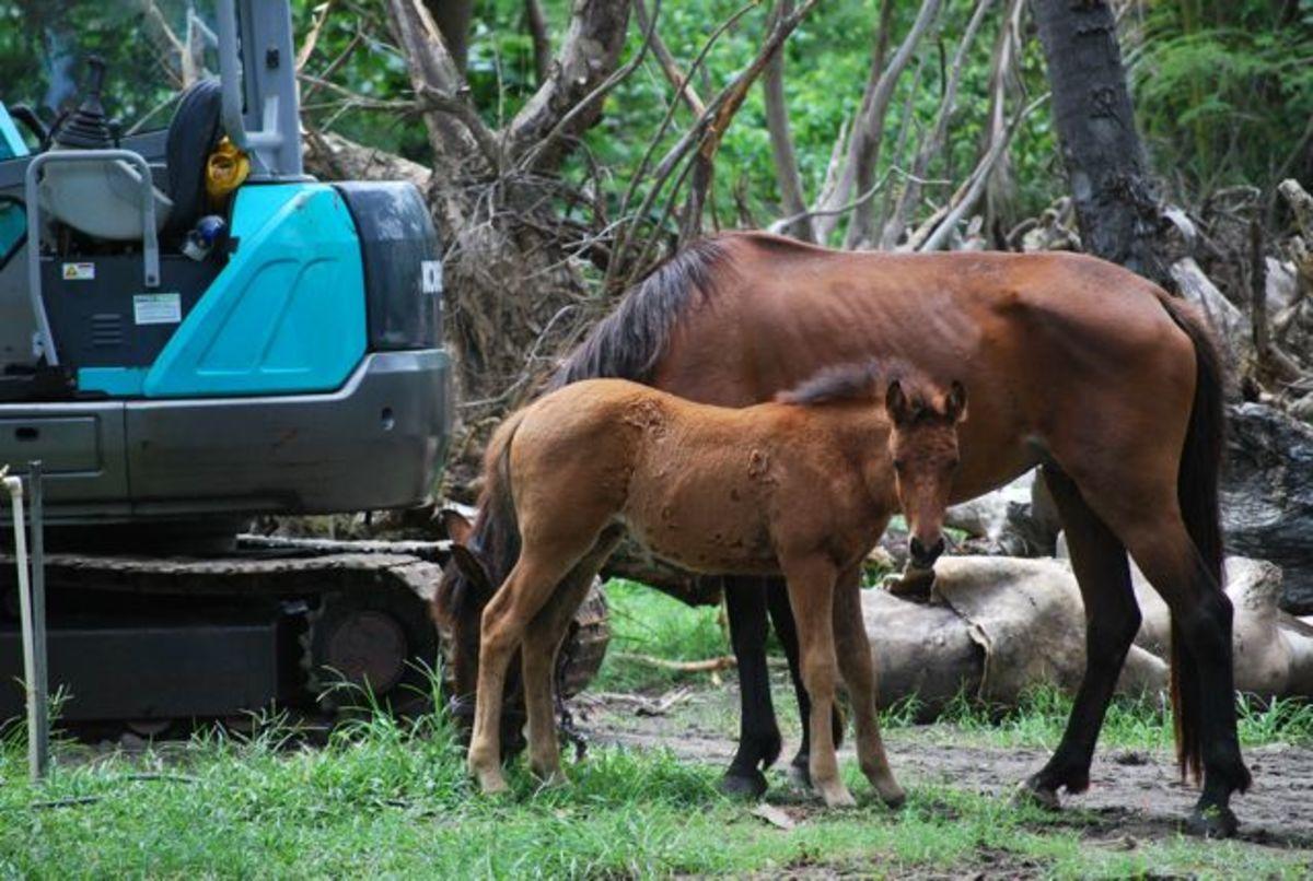 Horses at Sonaisali Island Fiji