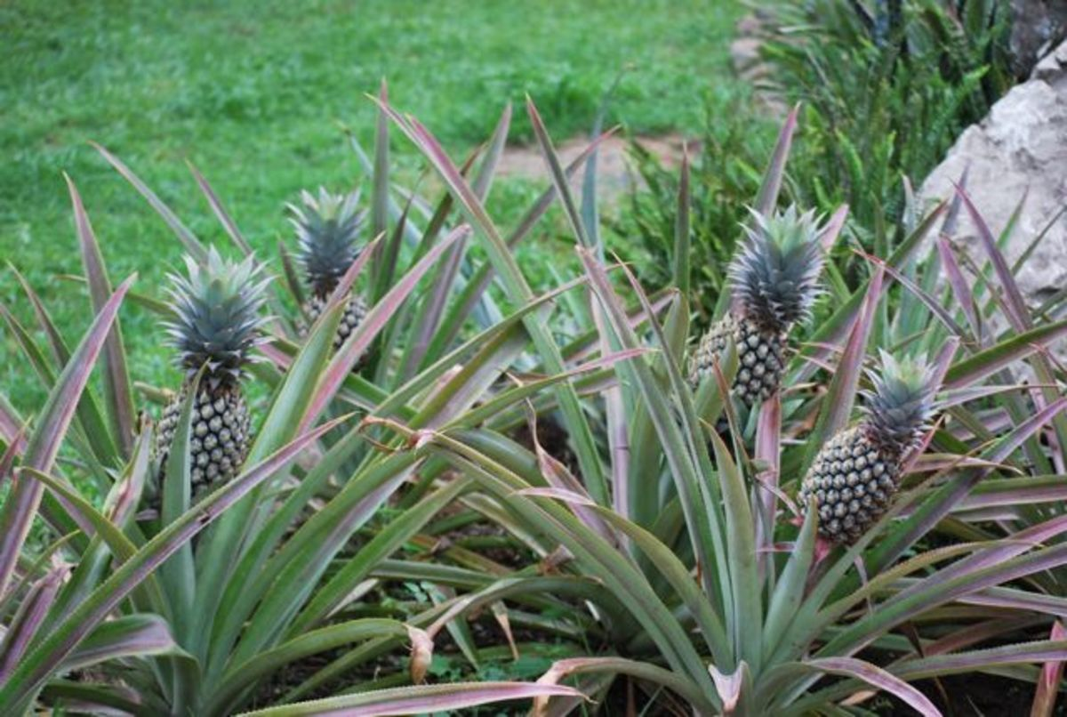 Pineapple plants at Sonaisali Island Resort, Fiji