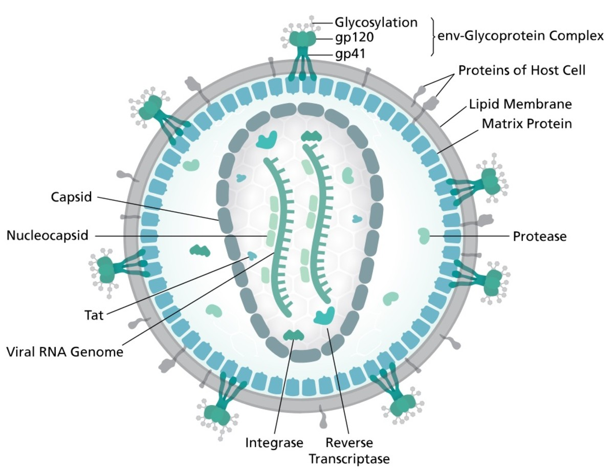 This is an individual HIV virus, or virion. The virus causes AIDS, or Acquired Immune Deficiency Syndrome. Our white blood cells destroy most viruses. Unfortunately, the HIV virus can destroy one type of T cell.