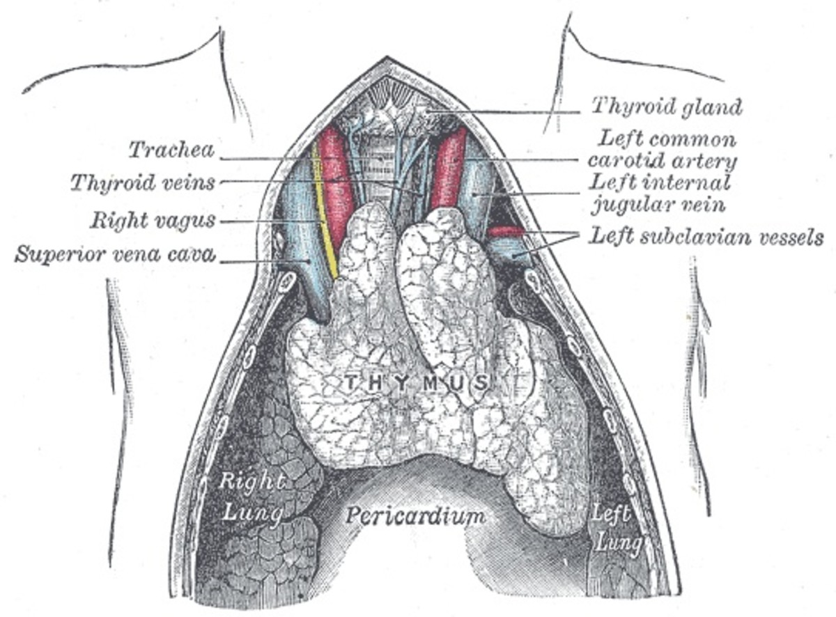 The thymus gland in a young person before it has degenerated
