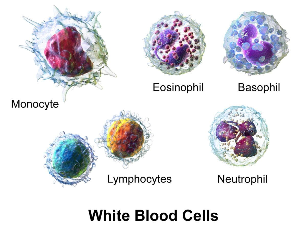The five main of white blood cells, which fight infections and harmful materials; one kind of lymphocyte, called the T lymphocyte or T cell, matures in the thymus gland