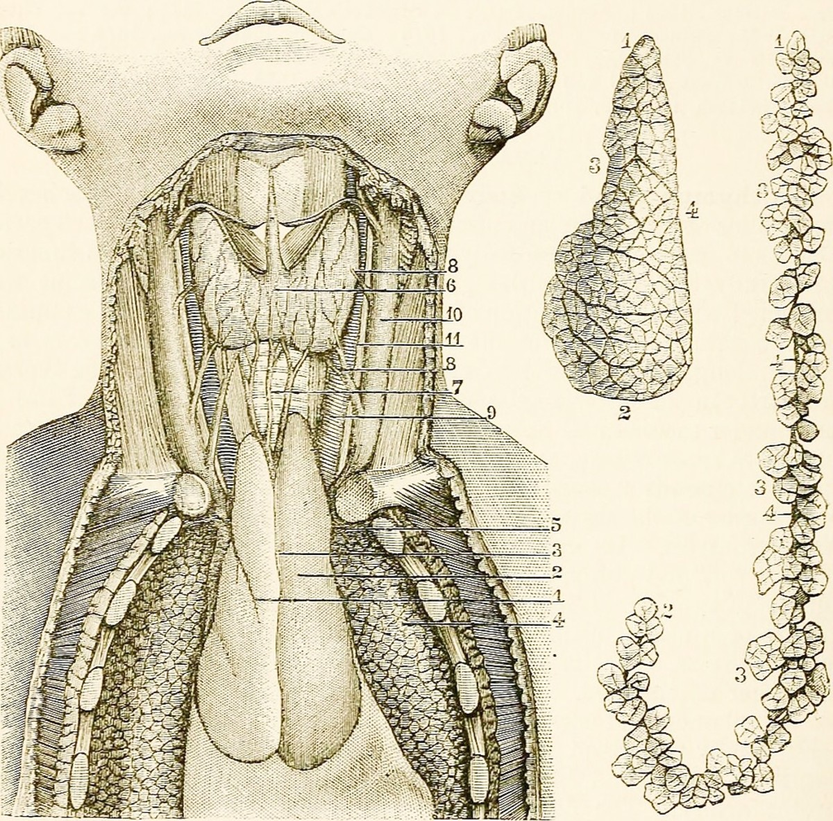 The thyroid gland (6) is located in the front of the neck. The thymus gland (2) is located below the thyroid in the front of the chest and between the lungs (4).