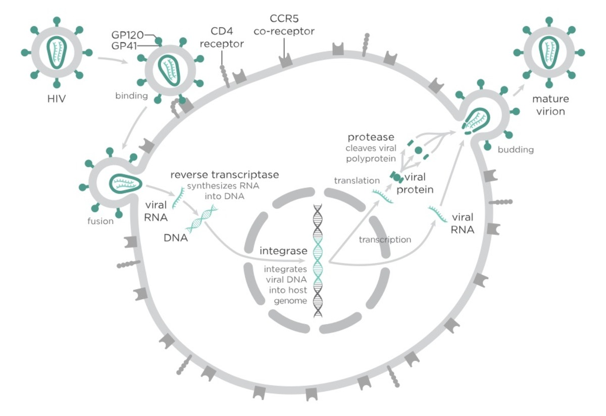 The replication cycle of the HIV virus, which causes AIDS.
