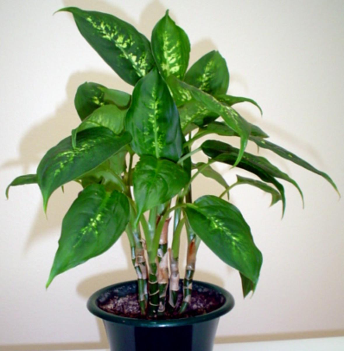 Dumb Cane (Dumbcane) - A Poisonous Plant