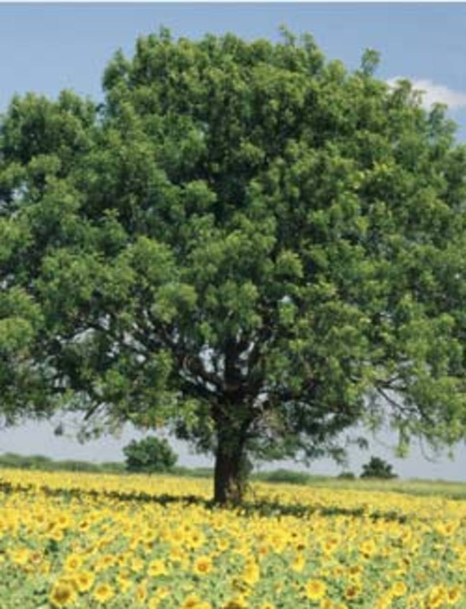 Neem Tree (Indian Lilac):A miracle herb