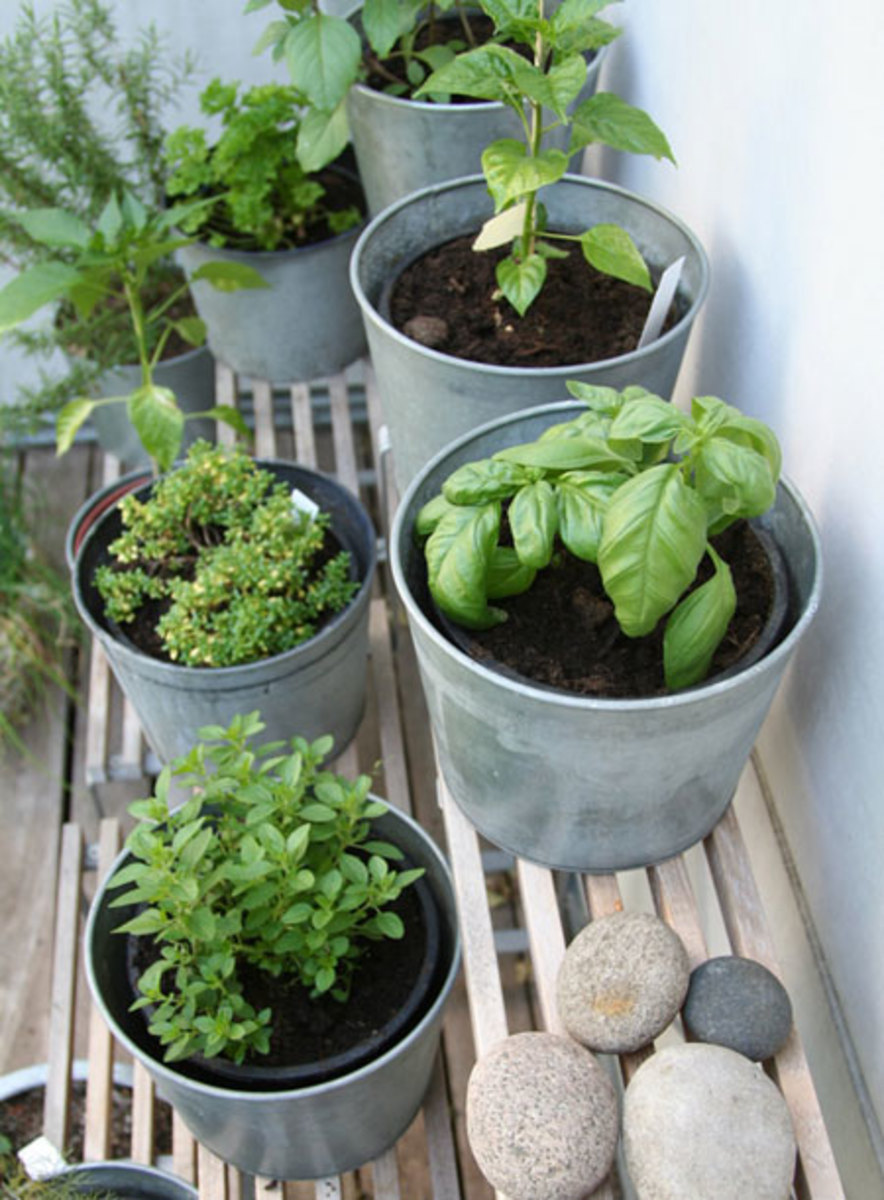 Herbs in Galvanized pots