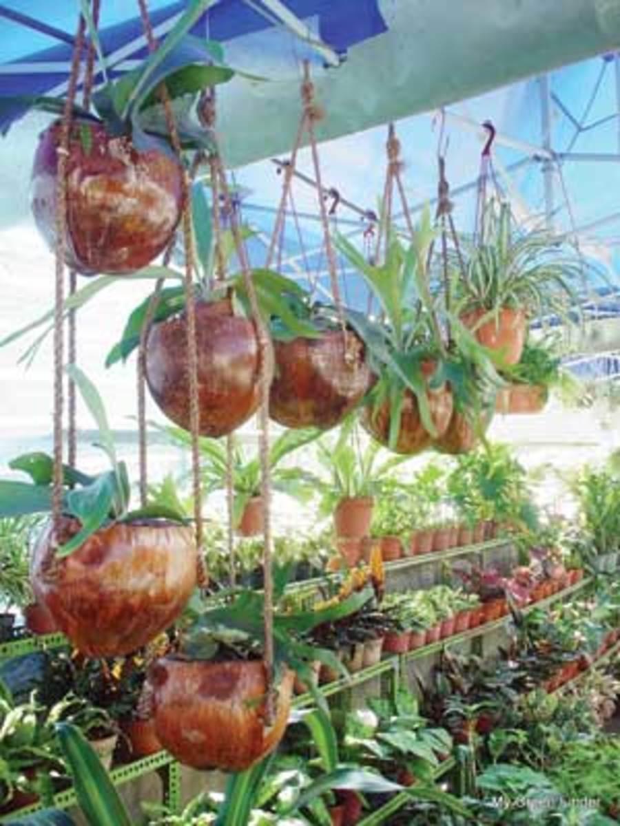Hanging pots of coconut shells