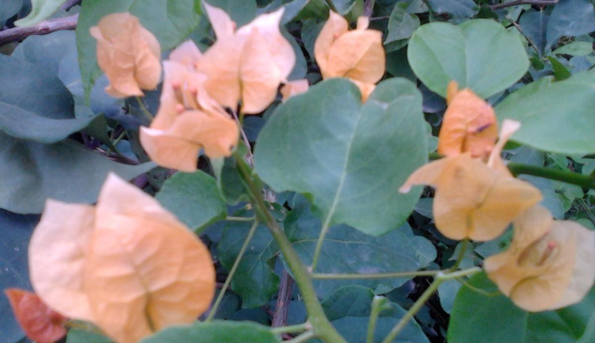 Light yellow Bougainvillea