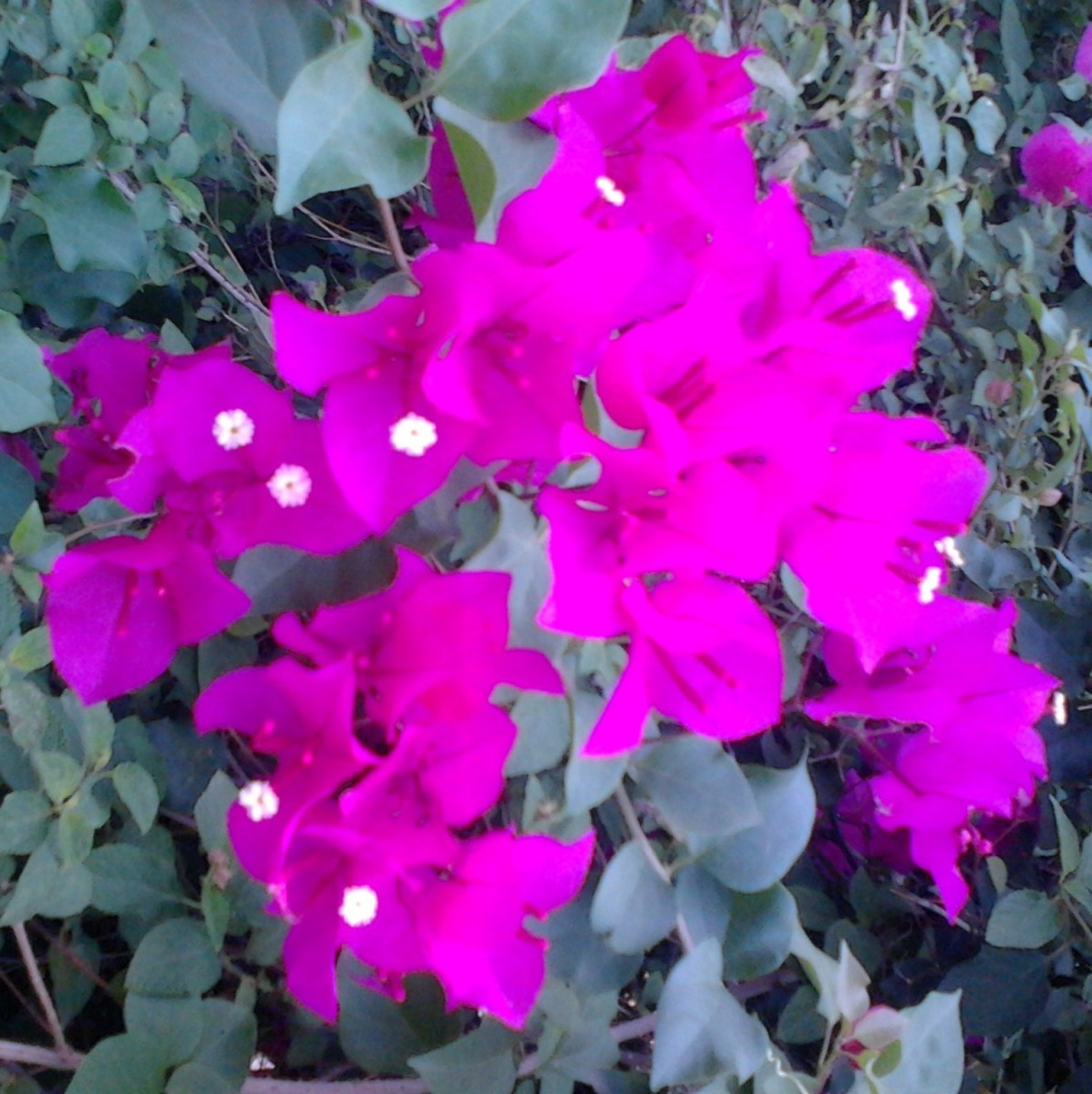 Bougainvillea Beautiful Bracts to Behold -A Photo Gallery