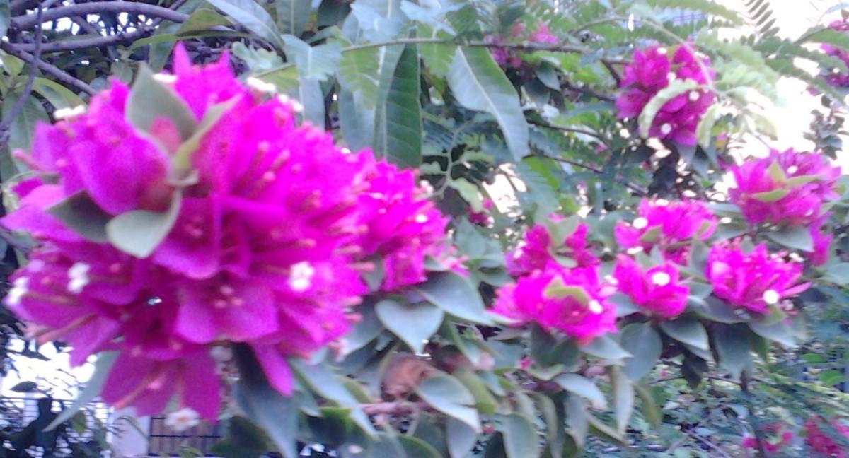 Purple clustered Bougainvillea