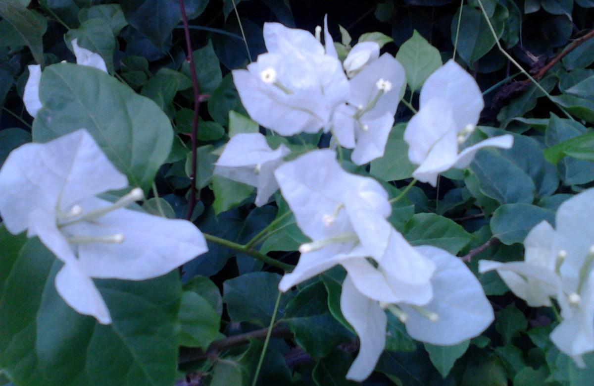 White Bouginvillea