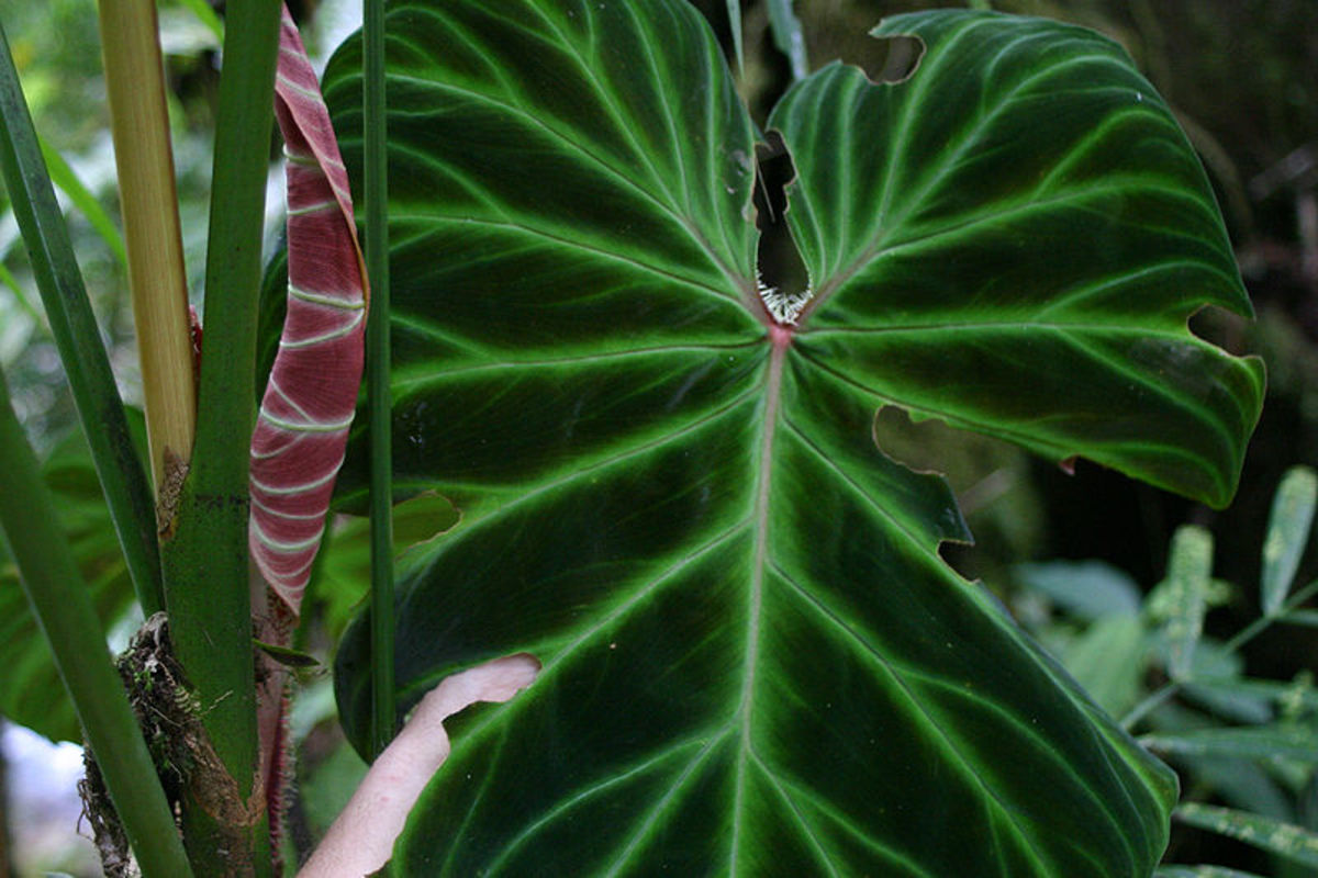 A Philodendron leave.
