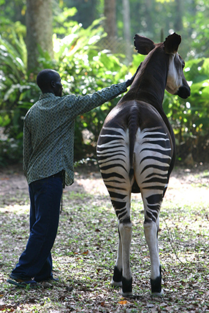 the-difference-between-giraffes-and-antelopes