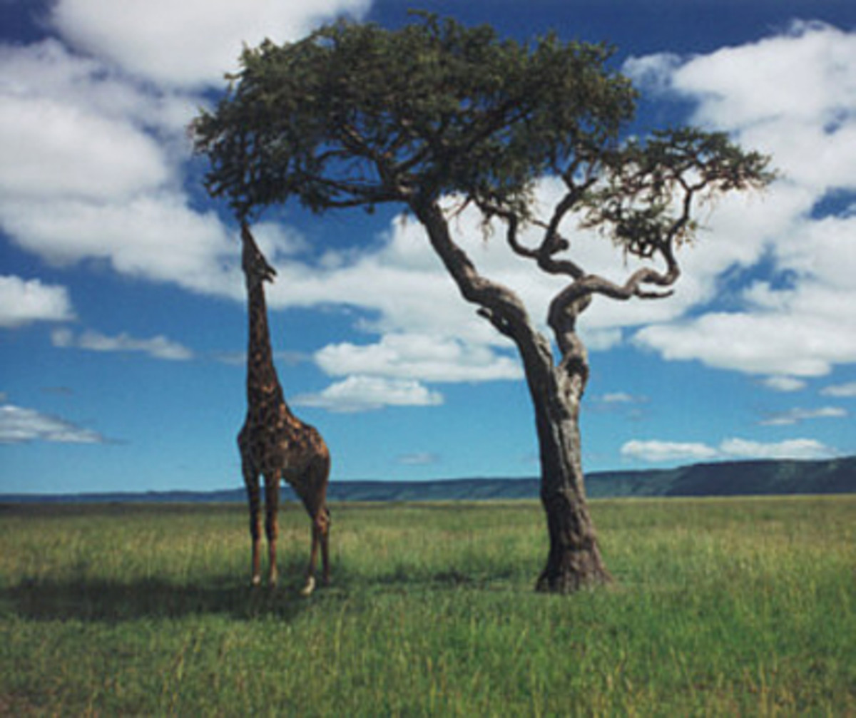 Giraffe at Acacia Tree