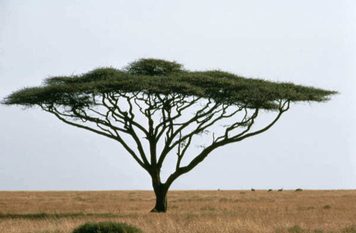 Acacia Tree (Umbrella tree)