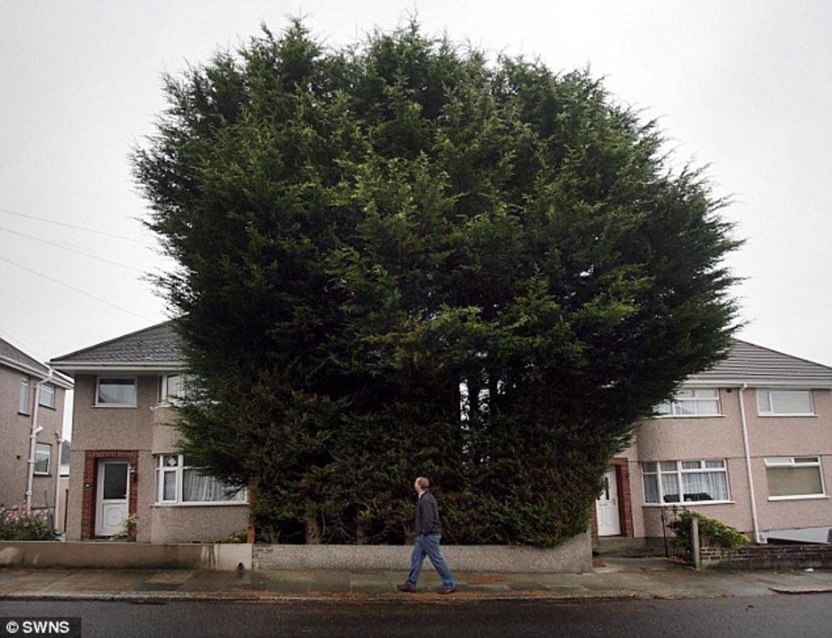 Leylandii trees can grow 6 ft per year