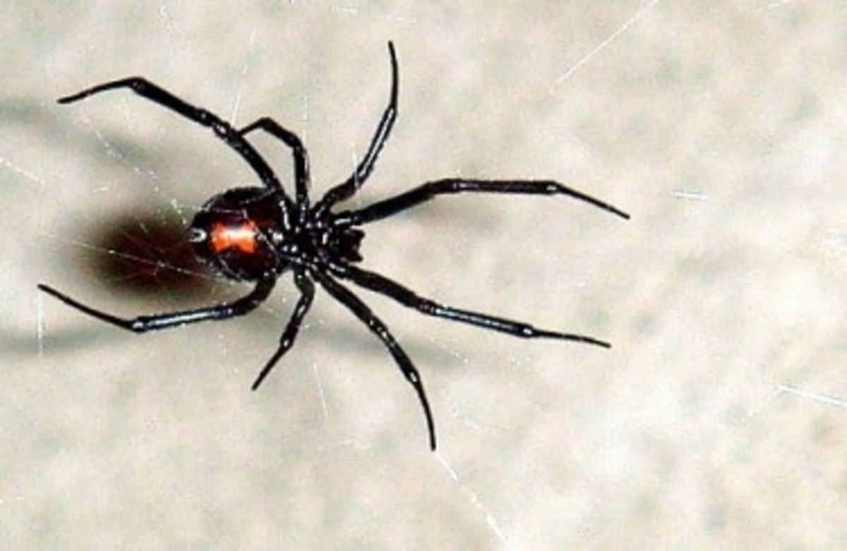 the-worlds-most-poisonous-spiders