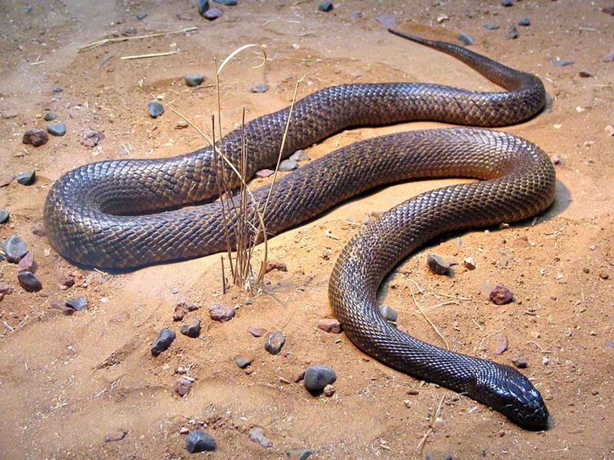 Inland Taipan is the worlds most poisonous snake/most venomous snake