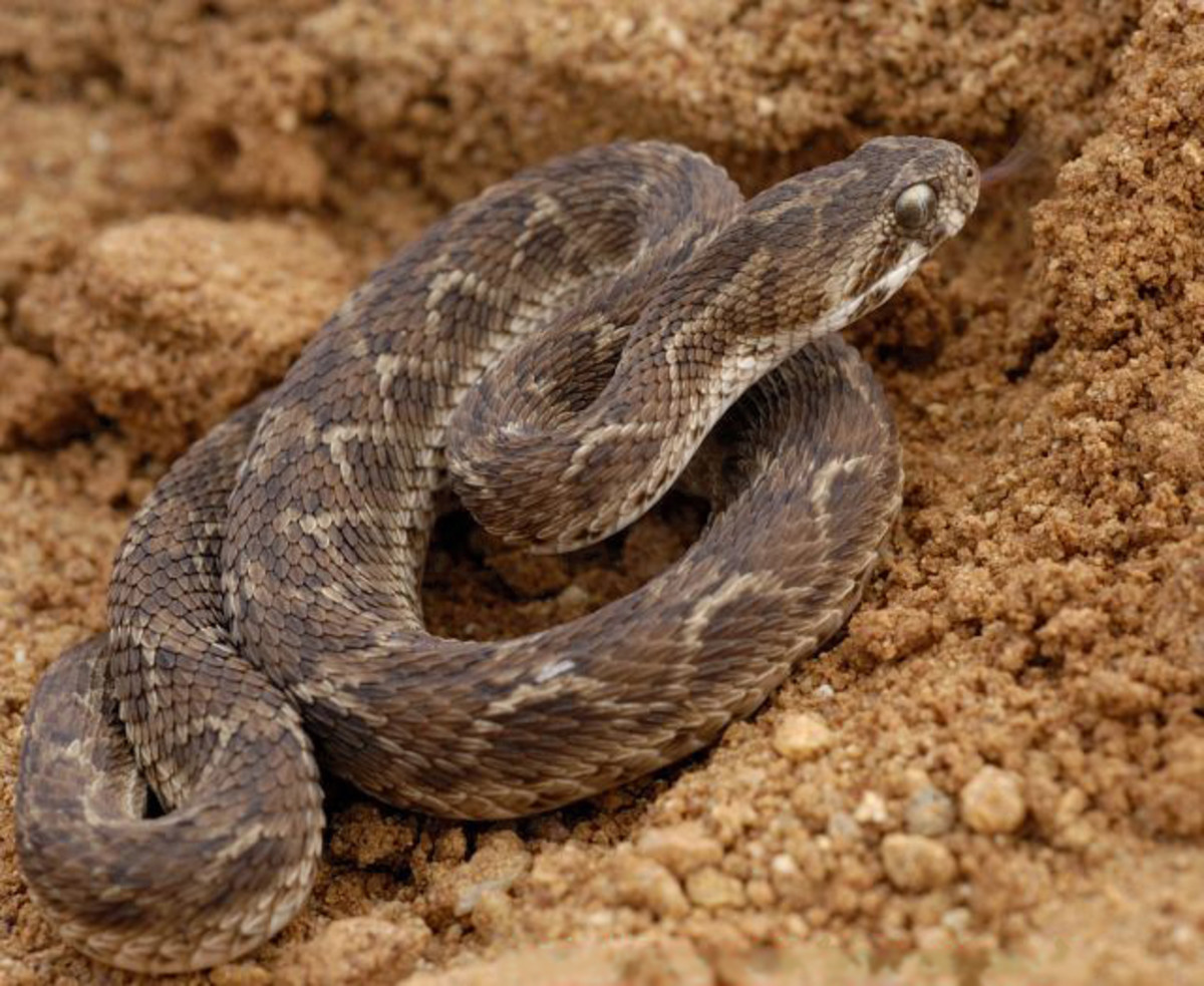 Saw Scaled Viper is the sixth worlds most poisonous snake. Image credit: Wikipedia commons
