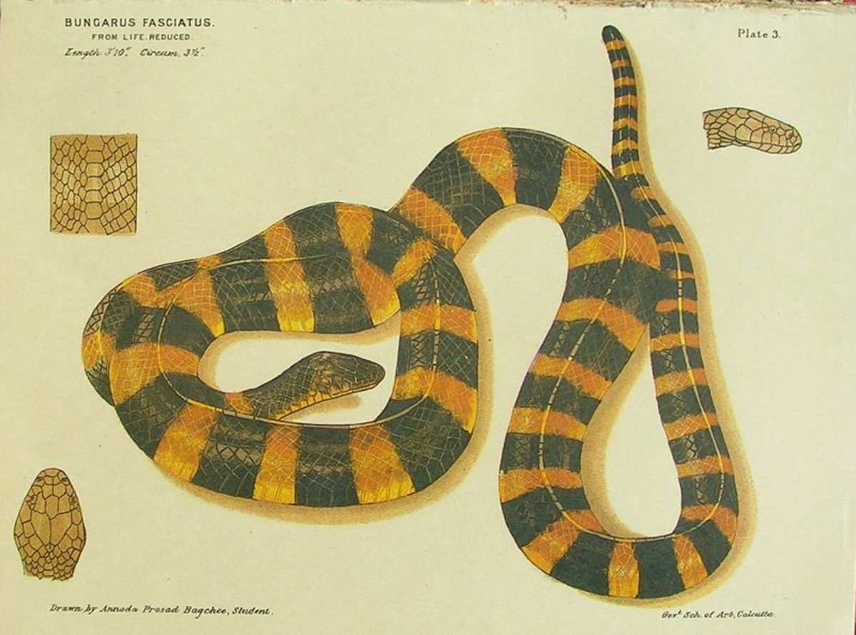 The words third most poisonous snake is Malayan Krait - Bungarus