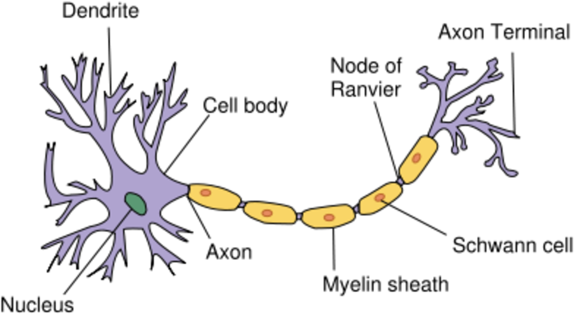 Diagram of a Motor Neurone