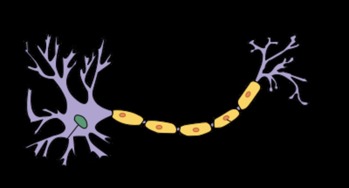 Diagram of a Motor Neurone