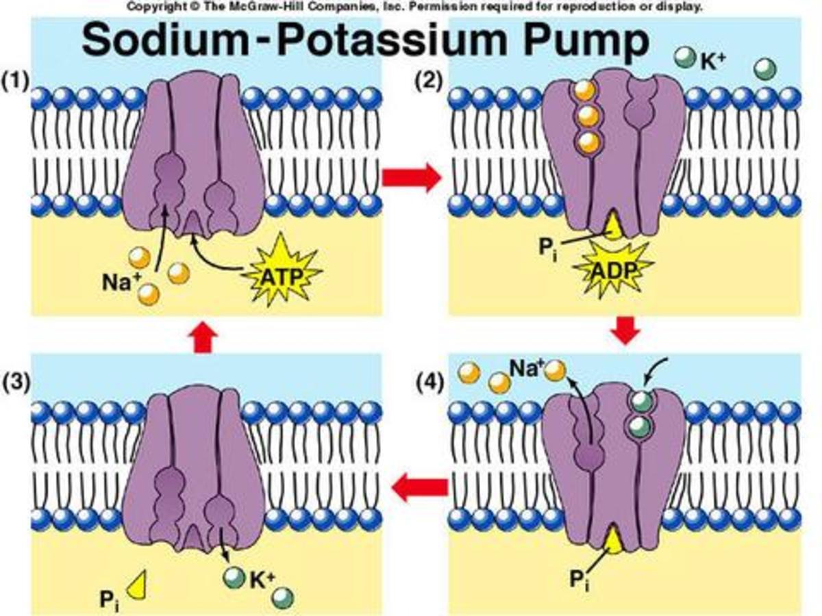 Sodium - Potassium Pump