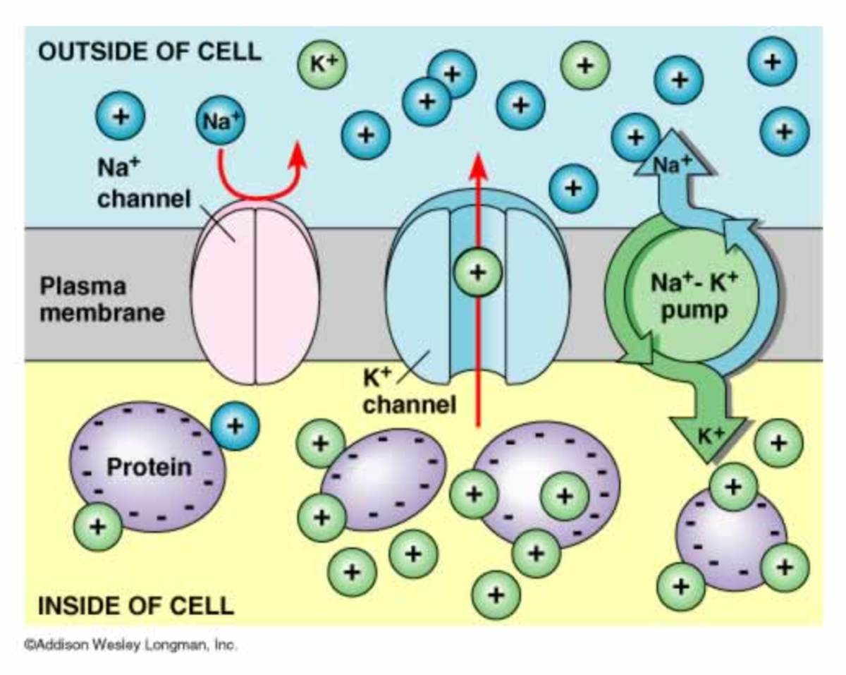 Diagram to help illustrate the pumps allowing the potential difference in axons.