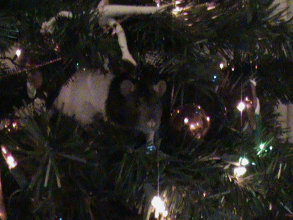 Cupcake, the Christmas Tree Rat